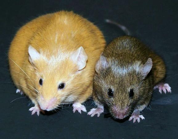 Agouti Mouse: Transgenerational Epigenetic Inheritance