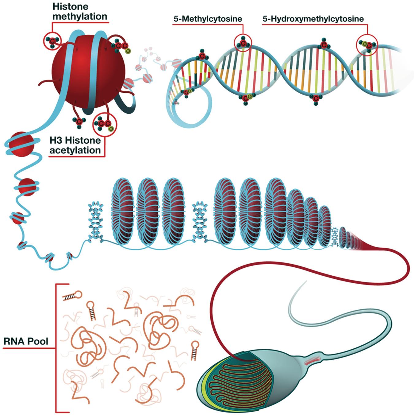 Sperm Epigenetics